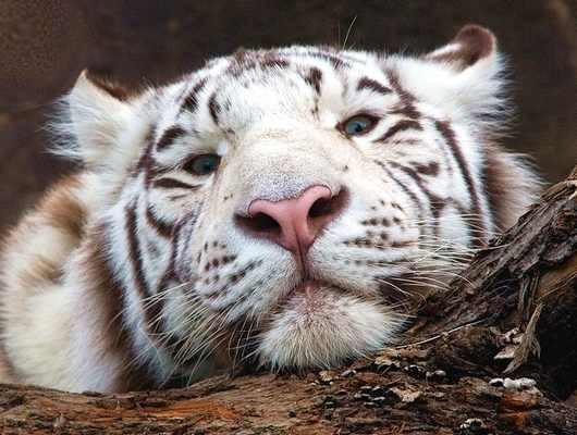 Этому году будет покровительствовать Белый металлический или железный Тигр. http://www.liveinternet.ru/showjournal...